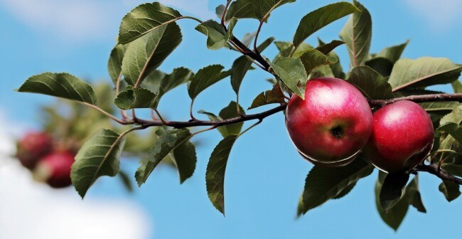 Best Fall Fruits - Apples
