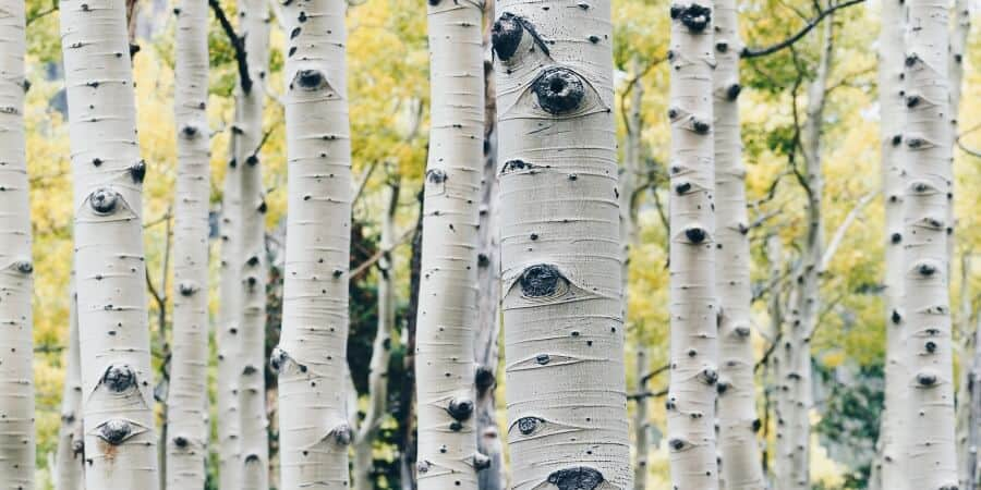 Birch Tree Sap Guide (1)